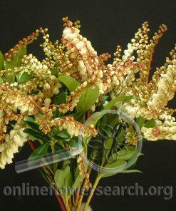 Pieris White Blooming