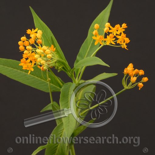 Asclepias Yellow (Butterfly Weed)