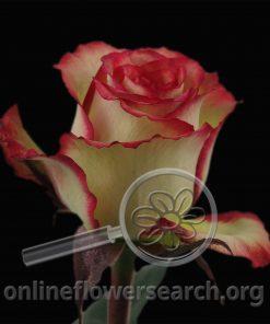 Rose Advenire