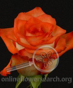 Rose Blush (Blush de los Andes)