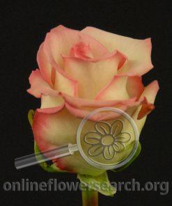 Rose Cezanne
