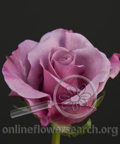 Rose Delilah