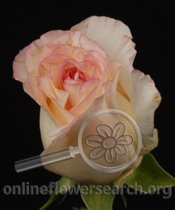 Rose Dolce Vita+
