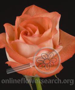 Rose Elena