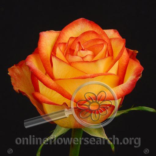 Rose High & Magic