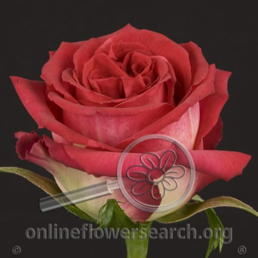 Rose Hot Ambiance