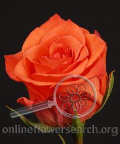 Rose Karusso