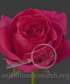 Rose Kiko