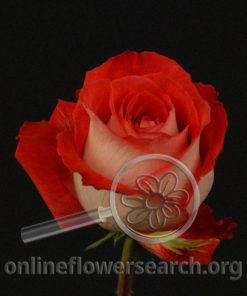 Rose Latin Fusion