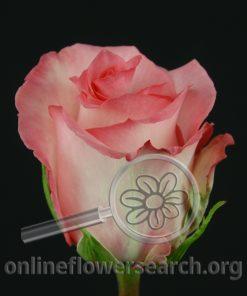 Rose Priceless