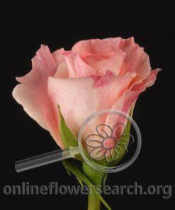 Rose Lorena