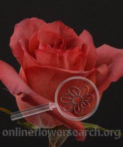 Rose Black Lava
