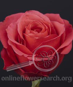 Rose Cherry O!