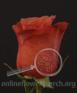 Rose Cimarron