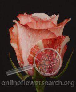 Rose Gelato