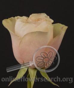Rose Tamara