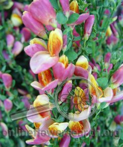 Scotch Broom Blooming Light Pink