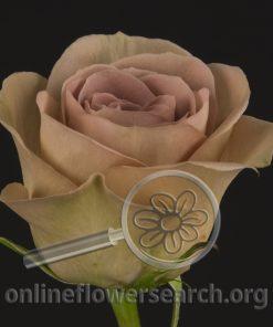 Rose Amnésia