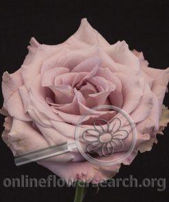 Rose Faith