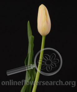 Tulip French Camarque