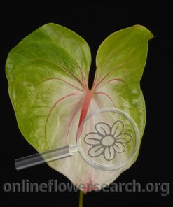 Anthurium Obake Green/White