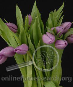Tulip Lavender