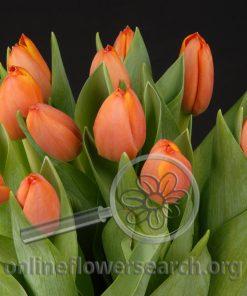 Tulip Orange