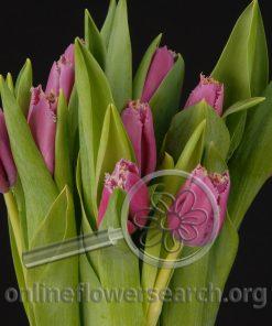 Tulip Hot Pink