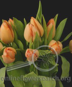 Tulip Apricot