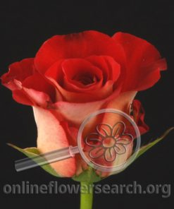 Rose Gypsy Leonidas