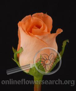 Rose Dreamer