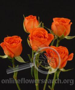 Spray Rose Babe (aka Orange Babe)