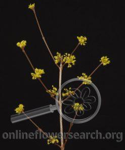 Dogwood Yellow Flowering
