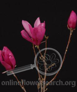 Tulip Magnolia - Pink