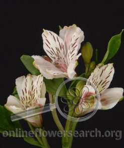 Alstroemeria Cherry White