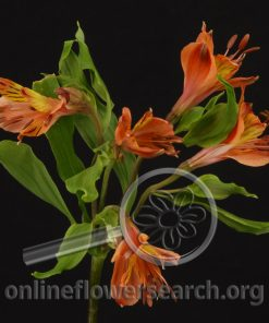 Alstroemeria Orange Sun
