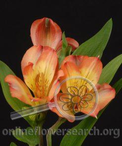 Alstroemeria Orange Bowl