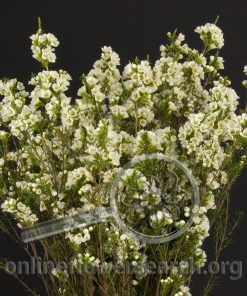 Waxflower Hybrid Snowball