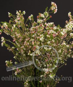 Waxflower Hybrid Revelation