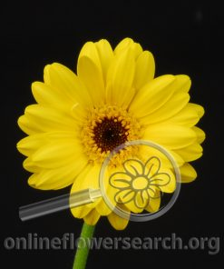 Gerbera Mini Yellow Black Center