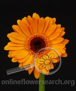 Gerbera Mini Light Orange Black Center