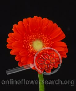 Gerbera Mini Orange