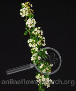 Spiraea Prunifolia
