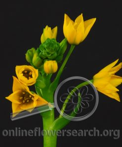Ornithogalum Dubium Yellow