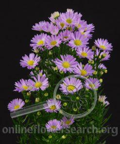 Aster Novi Belgii Lavender