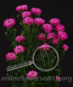 Aster Novi Belgii Hot Pink