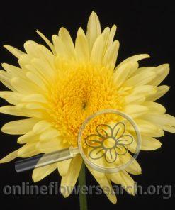 Chrysant Cremon Eleonora Yellow