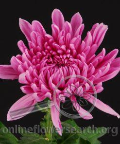 Chrysant Cremon Minka Pink