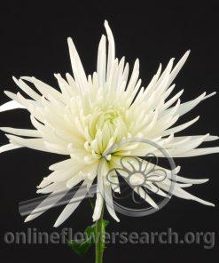 Chrysant Delistar White