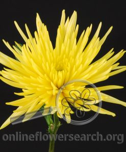 Chrysant Delistar Yellow